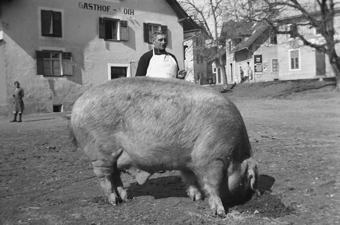 Fleischer Zirnig mit Zuchschwein 1935